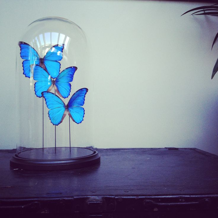 Antiek stolp met blauwe Morpho vlinder.Hét pareltje in je interieur.