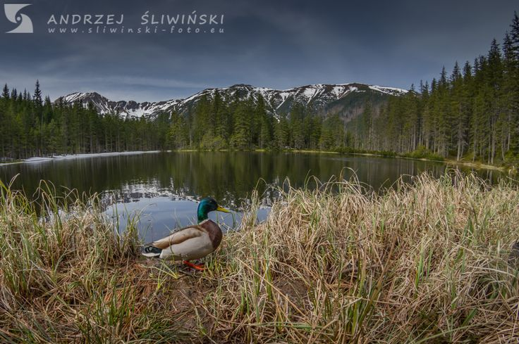 Duck at the lake. The Tatra Mountains, Poland