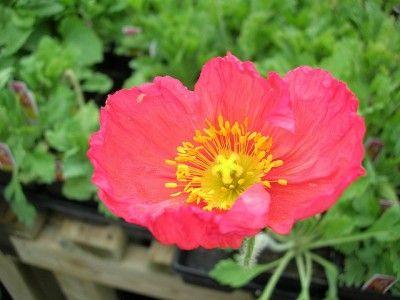 Iceland Poppy Care – How To Grow An Iceland Poppy Flower from @gardenknowhow