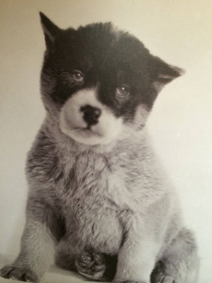 Blizzard the Antartic puppy , confiscated from Jeannie's luggage at airport !