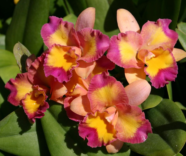 Blc Momilani Rainbow The Gypsy Orchids Pinterest
