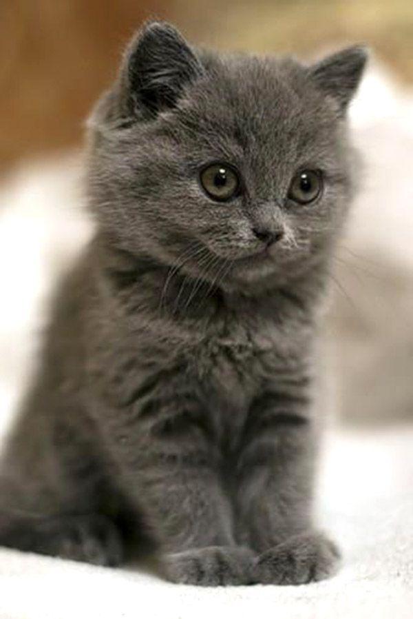 Petit bébé chat tout gris Little baby cat all gray © Photo