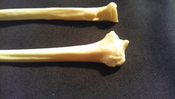 """*4"""" Raccoon Radius Bone*  Hey, I found this really awesome Etsy listing at https://www.etsy.com/listing/228057557/4-raccoon-radius-bone"""