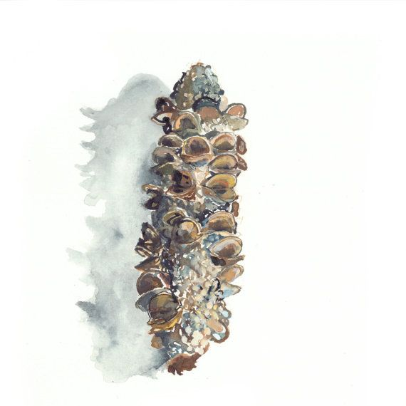 Australian banksia pod  framed and signed high by DrawingFred