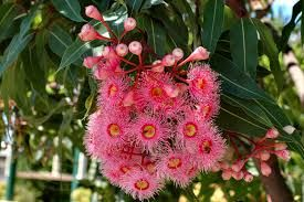 Image result for eucalyptus ficifolia dwarf red