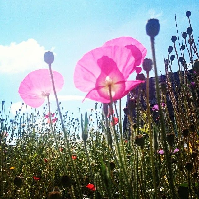 Poppies planted by apprentices at Plymouth City Council in remembrance of the 100th anniversary of WW1