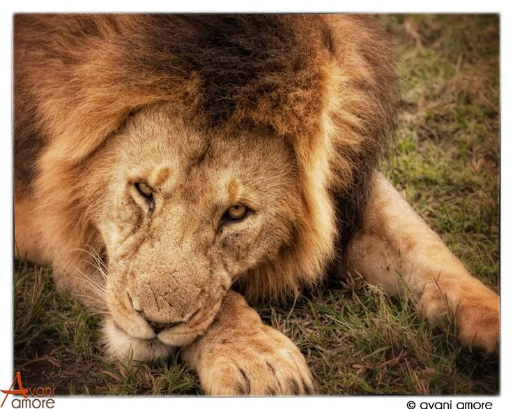 That not so subtle look from a wild lion!  Such power in its focus.  Masai Mara, Kenay. Photo by #avaniamore   www.avaniamore.com