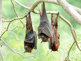 Neighbour not batting an eyelid over flying foxes - Northern Star Australia