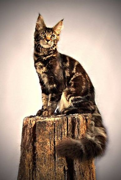 King Kong - Maine Coon
