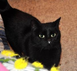 Nynaeve (Pinky) is an adoptable Domestic Medium Hair-Black Cat in Baton Rouge, LA. Gorgeous, silky Nynaeve (nicknamed Pinky for her precious pink nose) is a big kitty, affectionate, sweet and calm lik...