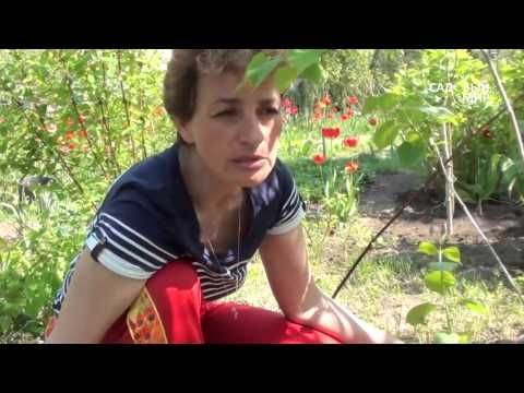 """Как обрезать сирень. Сайт """"Садовый мир"""" - YouTube"""