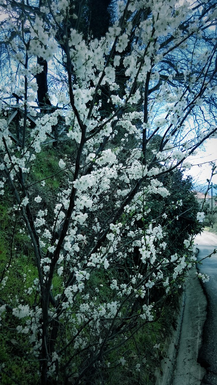 Cherry tree blossom in Pilio, Greece 2014