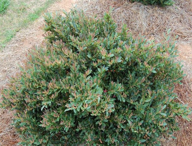 Gcc S New Blue Cascade Distylium Cascading Evergreen With