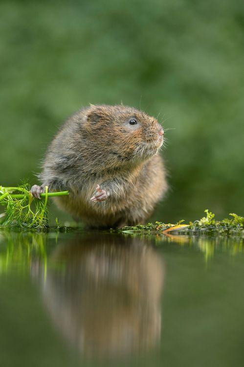 17 best ideas about vole animal on pinterest