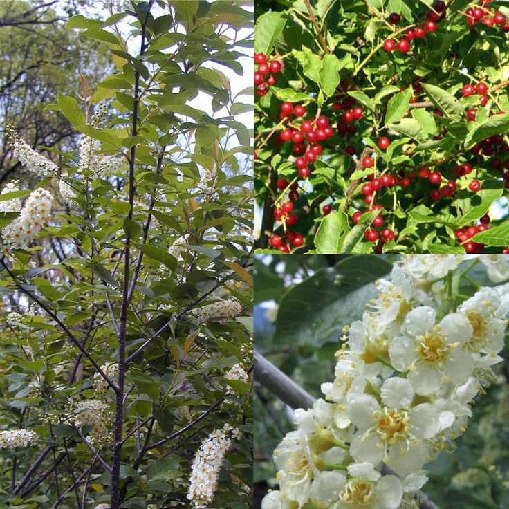 CHOKE CHERRY: For many Native American tribes of Canada and the United States, chokecherries were the most important fruit in their diets. The bark of chokecherry root was once made into an asperous-textured concoction used to ward off or treat colds, fever and stomach maladies by native Americans. The chokecherry fruit can be used to make a tasty jam, jelly, or syrup, but the bitter nature of the fruit requires sugar to sweeten the preserves.