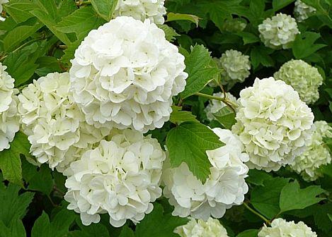 buske vita blommor
