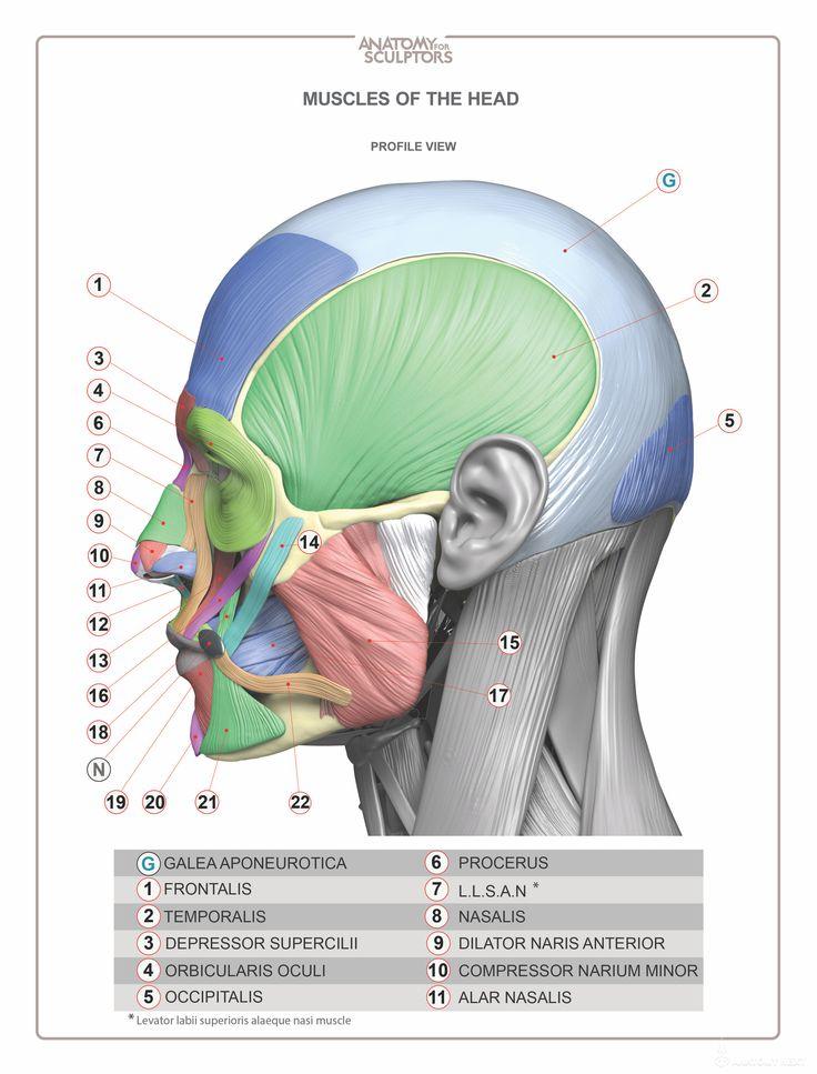 17 best anatomía images on Pinterest | Anatomy reference, Anatomy ...