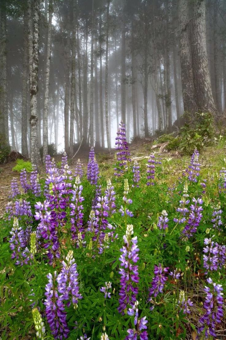 wild lupine in the forest.