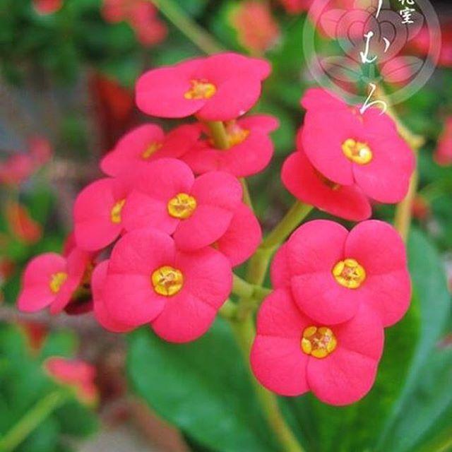 【kyoto_flowerhouse_omuro】さんのInstagramをピンしています。 《【メディアで話題の京都老舗花屋】 お誕生日を迎えられた皆様、おめでとうございます。 11月9日の誕生花は【ハナキリン】です。花言葉は『純愛・独立・逆境に耐える』などです。 京都花室 おむろでは、 #桜盆栽 など、たくさんのフラワーギフトを販売しております。詳しくはウェブをご覧ください。検索:【おむろ】 #京都花室おむろ #おむろ #花 #誕生花 #胡蝶蘭 #蘭 #桜 #盆栽 #御室桜 #祝 #誕生日プレゼント #誕生日おめでとう #仁和寺 #御室仁和寺 #omuro #flower #birthdayflowers #orchid #sakura #cherryblossom #bonsai #omurosakura #anniversary #birthdaypresent #japan #ninnaji #omuroninnajistation》