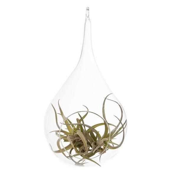 Hinterland Trading Air Plant Tillandsia Bromeliads Kit Teardrop Terrarium with Pebbles and Moss Great Little Houseplant from Hinterland Trading