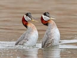Image result for Red-necked Grebes