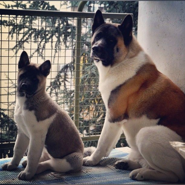 1000 images about akita on pinterest beautiful dogs
