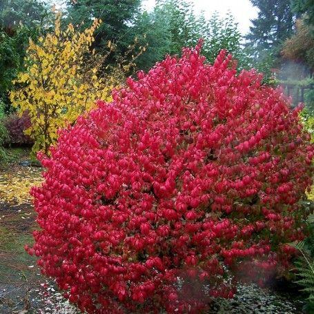 Euonymus alatus Compactus - RoyalPlant.ro