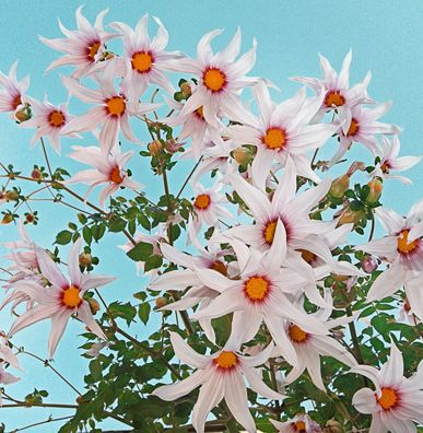 """Dahlia campanulata """"Weeping Tree Dahlia"""" - Here we see the rare unicorn of Dahlias – Dahlia campanulata. Seldom seen in gardens, this mythical beast is a modestly sized (8-10' tall & 3' wide) FALL BLOOMING """"tree dahlia"""""""