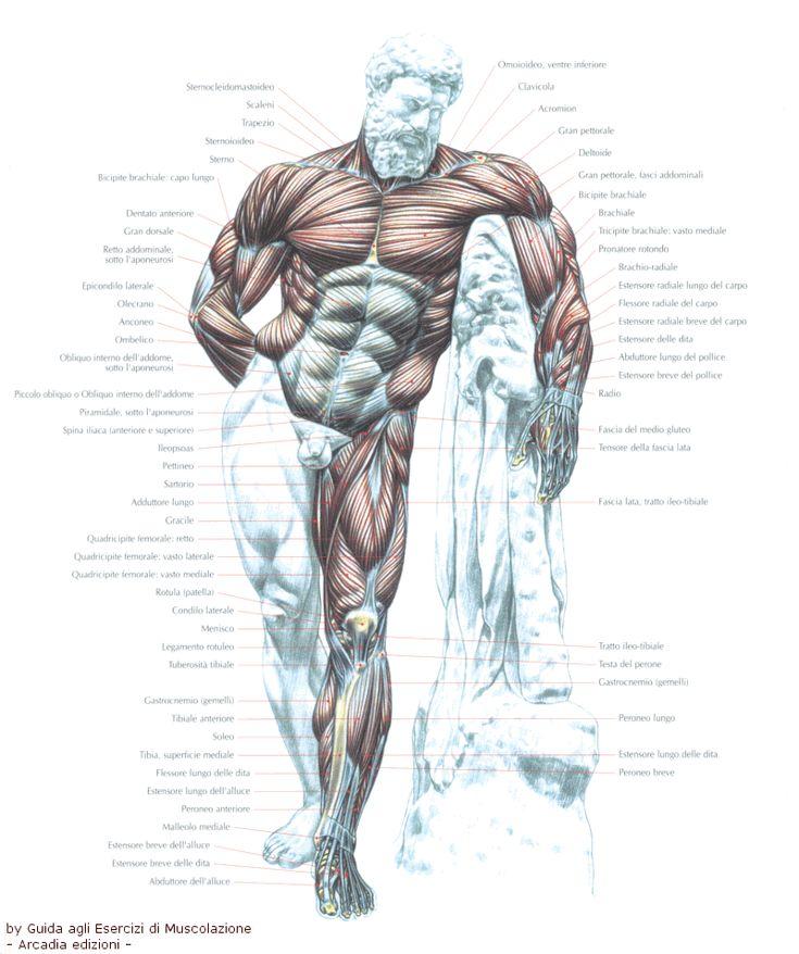 25 best Anatomy images on Pinterest | Anatomie, Menschliche anatomie ...