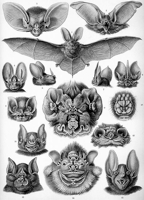 Bats by Ernst Haeckel : (1834 -1919) German Artist, Philosopher & Scientist.