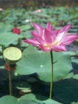 Loto, Flor de loto, Loto sagrado, Nelumbo, Loto asiático, Lotus de la India, Loto indio, Loto indiano, Haba de Egipto, Loto de Egipto, Nelumbio, Nenúfar de China, Rosa del Nilo