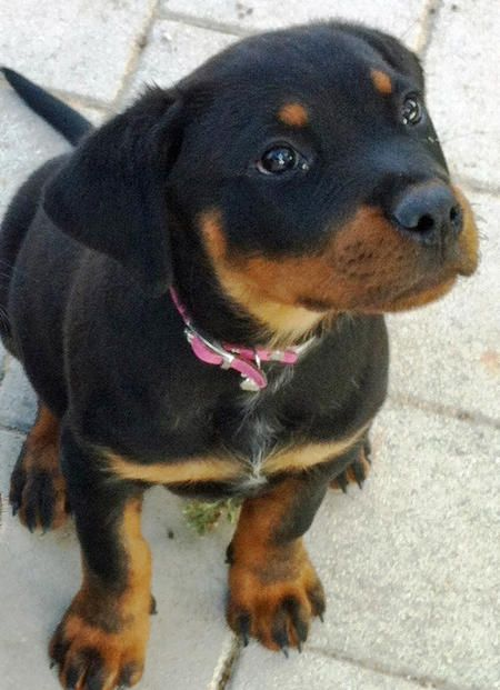 Storm the Rottweiler