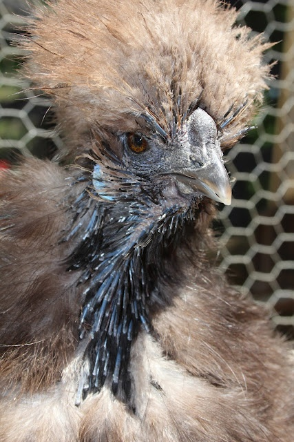 Molting Silkie Hen - I have one that looks just like her. lol