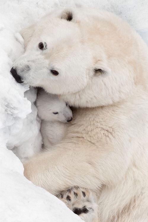 Polar Bear mother with cub~