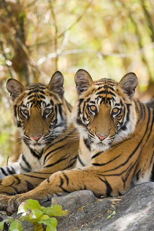 Bengal Tigers by Elliot Neep. Bengal Tiger animal art portraits, photographs, information and just plain fun. Also see how artist Kline draws his animal art from only words at drawDOGS.com