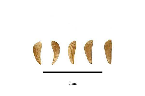 http://www.ars-grin.gov/npgs/images/sbml/Crepis_zacintha_seeds.jpg