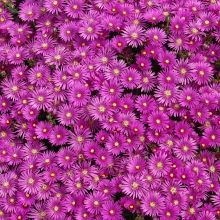 Delosperma cooperi - rock garden east face hill ground cover border