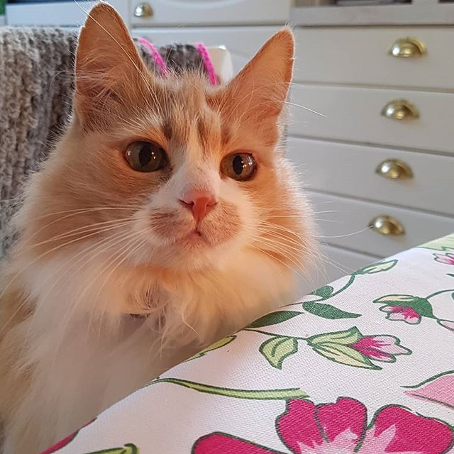 Photo by iHanna on Instagram @ihannas: Everyone might think their cat is the cutest & best cat in the world but I know I'm the lucky one.   Smilla knows too.   Here she is at Easter dinner table looking like the Queen of my Heart that she is.  #smilla #catsofinstagram #catatthetable #cutestcat #cutestcatever #studioihanna