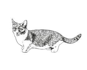 Mанчкин - Породы кошек. Описание и фото домашних кошек. Популярные породы кошек в картинках - Glorypets