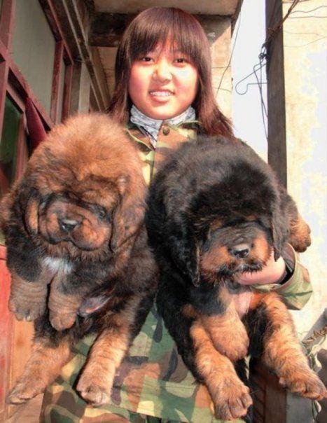 Now this is my kind f puppy,  Tibetan Mastiff puppies.