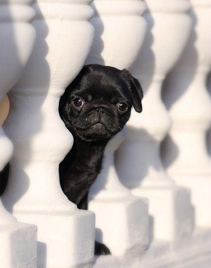 Cute Black #Pug #Puppy                                                                                                                                                                                 Más