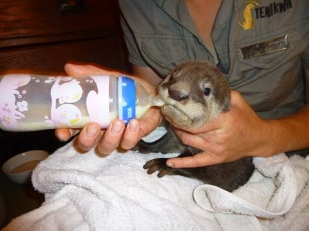 The young otter being bottle fed on the first night by our animal keeper, Polly