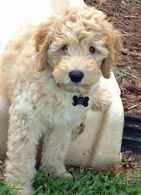 Australian #labradoodle #dogs #cute