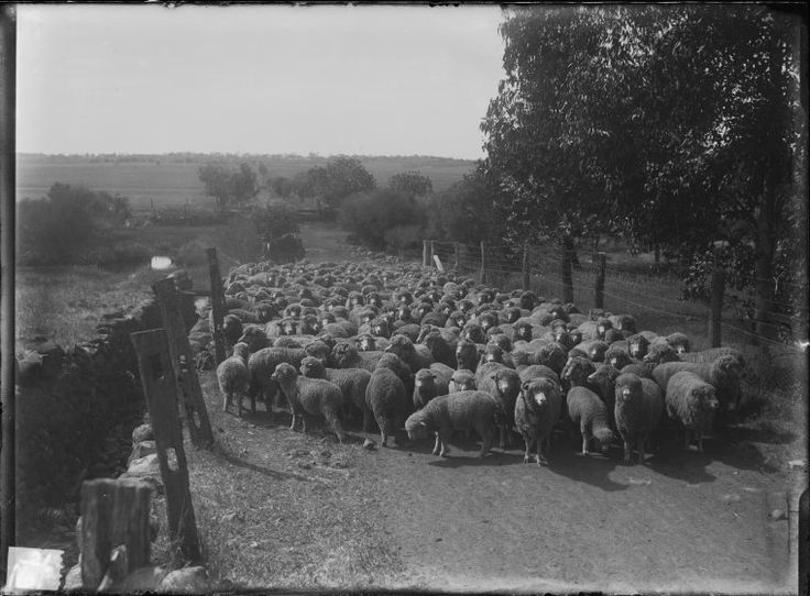 008604PD: The flock at New Norcia, 1923 https://encore.slwa.wa.gov.au/iii/encore/record/C__Rb2942214
