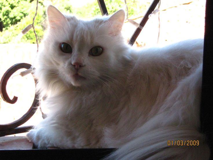 Gorgeous <3 #Feles #WhiteCat #Angora