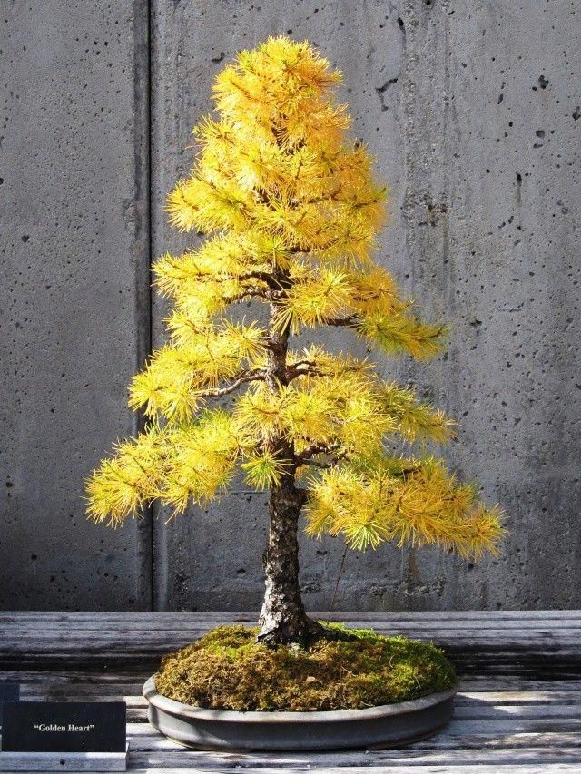 American Larch Outdoorbonsai Bonsai Tree Bonsai Tree Types Indoor Bonsai Tree