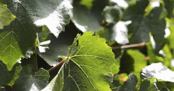 Cómo propagar la hiedra. La hiedra es una planta enredadera perenne de crecimiento rápido que forma una cubierta vegetal densa, una planta de interior de fácil cuidado, un topiario o una planta trepadora gracias a su forma agraciada y atractivo follaje. Las variedades trepadoras como la hiedra inglesa (Hedera helix) crecen hasta unos 90 pies (27,43 m) de altura. La hiedra ...