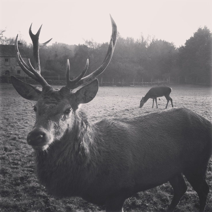 Stag in Ireland