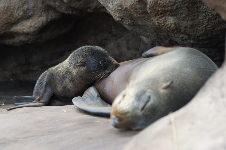 New Zealand fur seal feeding baby, Otago Peninsula, Dunedin