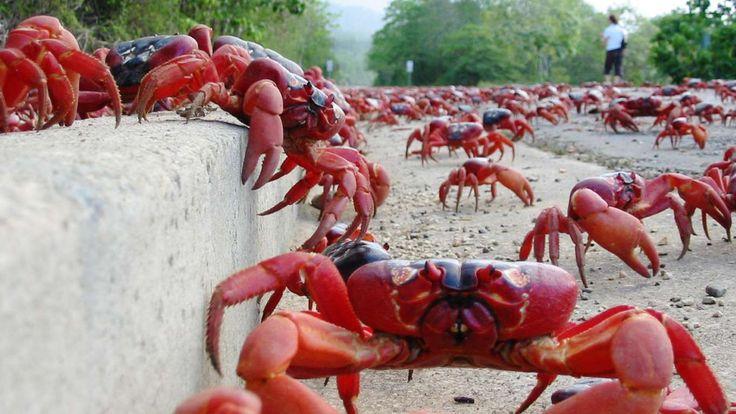 El cangrejo rojo de Isla Navidad  Este cangrejo es una especie endémica de la Isla Navidad y las Islas Cocos, en el Índico. Son famosos porque cada año protagonizan una migración masiva que tiñe de rojo las vías creadas para que pueda desovar en el mar sin ser aplastados por los coches o los peatones (Asociación Turística de Isla Navidad).
